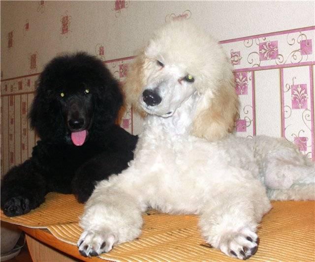 Королевский пудель – умный, энергичный и самый крупный среди разновидностей пес