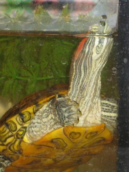 Как определить возраст красноухой черепахи: по панцирю как определить возраст красноухой черепахи: по панцирю