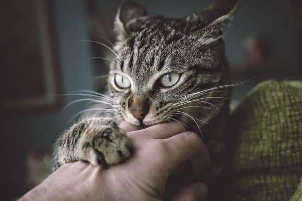 Почему кошка кусается, когда ее гладишь, без причины, а потом лижется или наоборот?