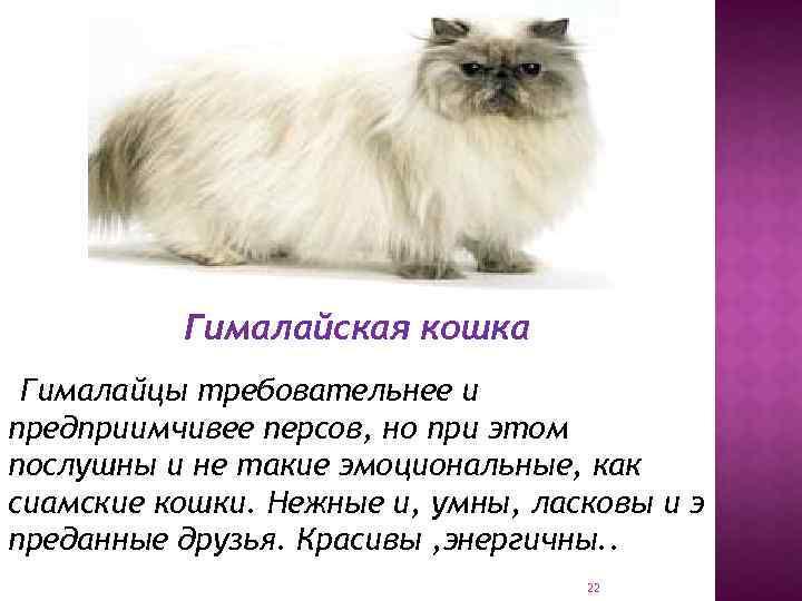 Тайская кошка ? фото, описание, характер, факты, плюсы, минусы кошки ✔