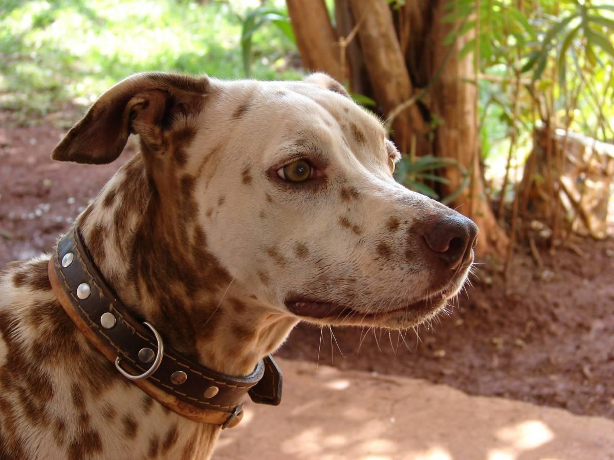 Леопардовая собака катахулы википедия