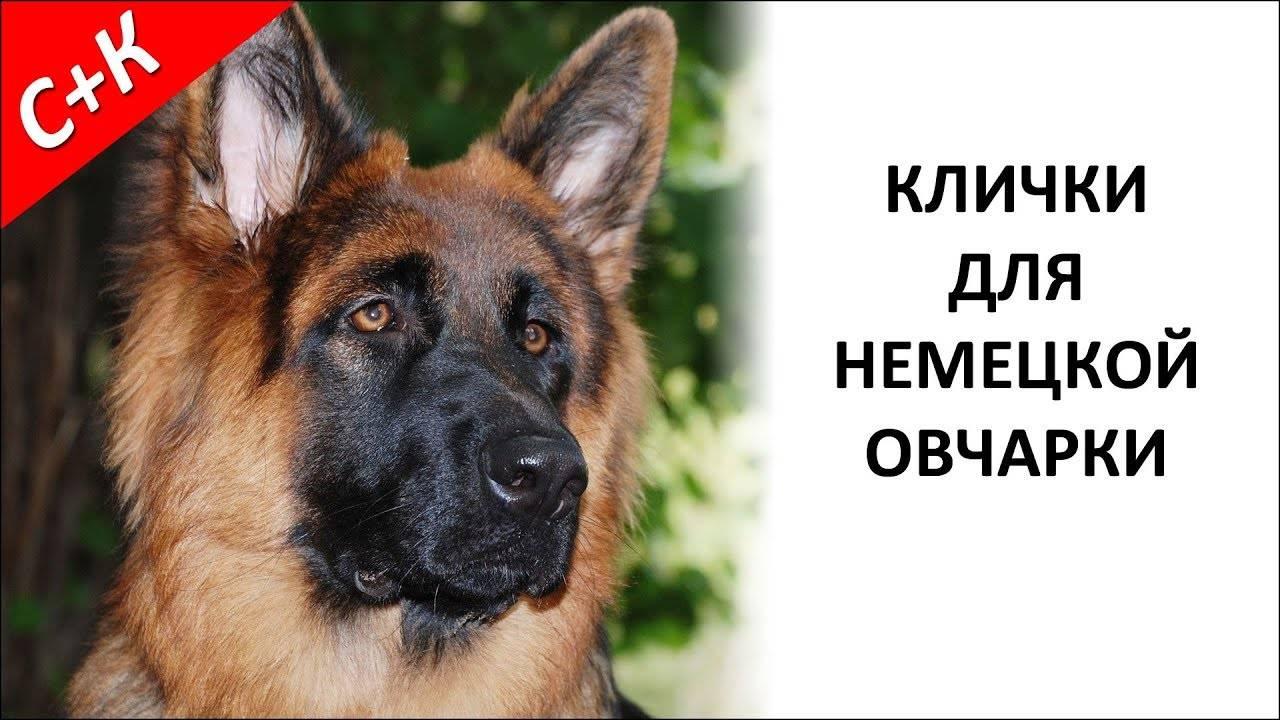 Клички для собак для немецких овчарок мальчика и девочки
