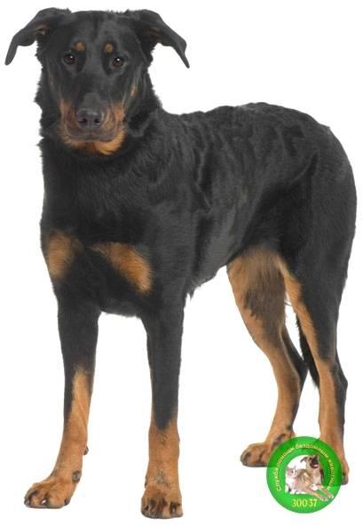 Подробное описание породы собак босерон или французская овчарка
