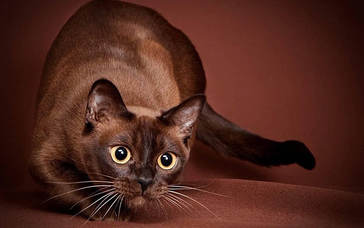 Характер кошек породы бурманская кошка