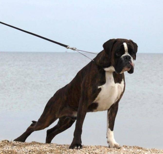 Что такое окд для воспитания питомца: общий курс дрессировки собаки