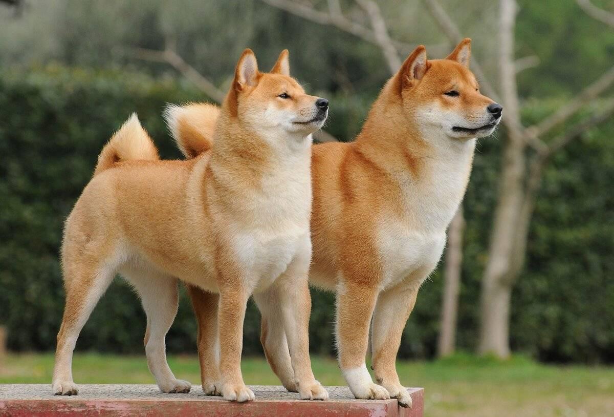 Собака сиба ину - японская порода с описанием и фото