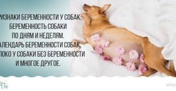 Как распознать и сколько длится беременность у собак