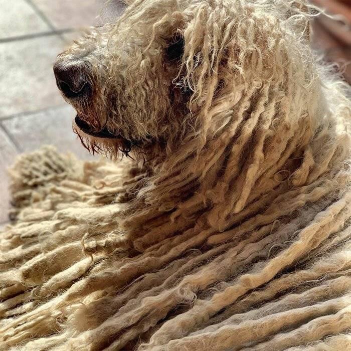 Классификация пород собак по типу их шерсти