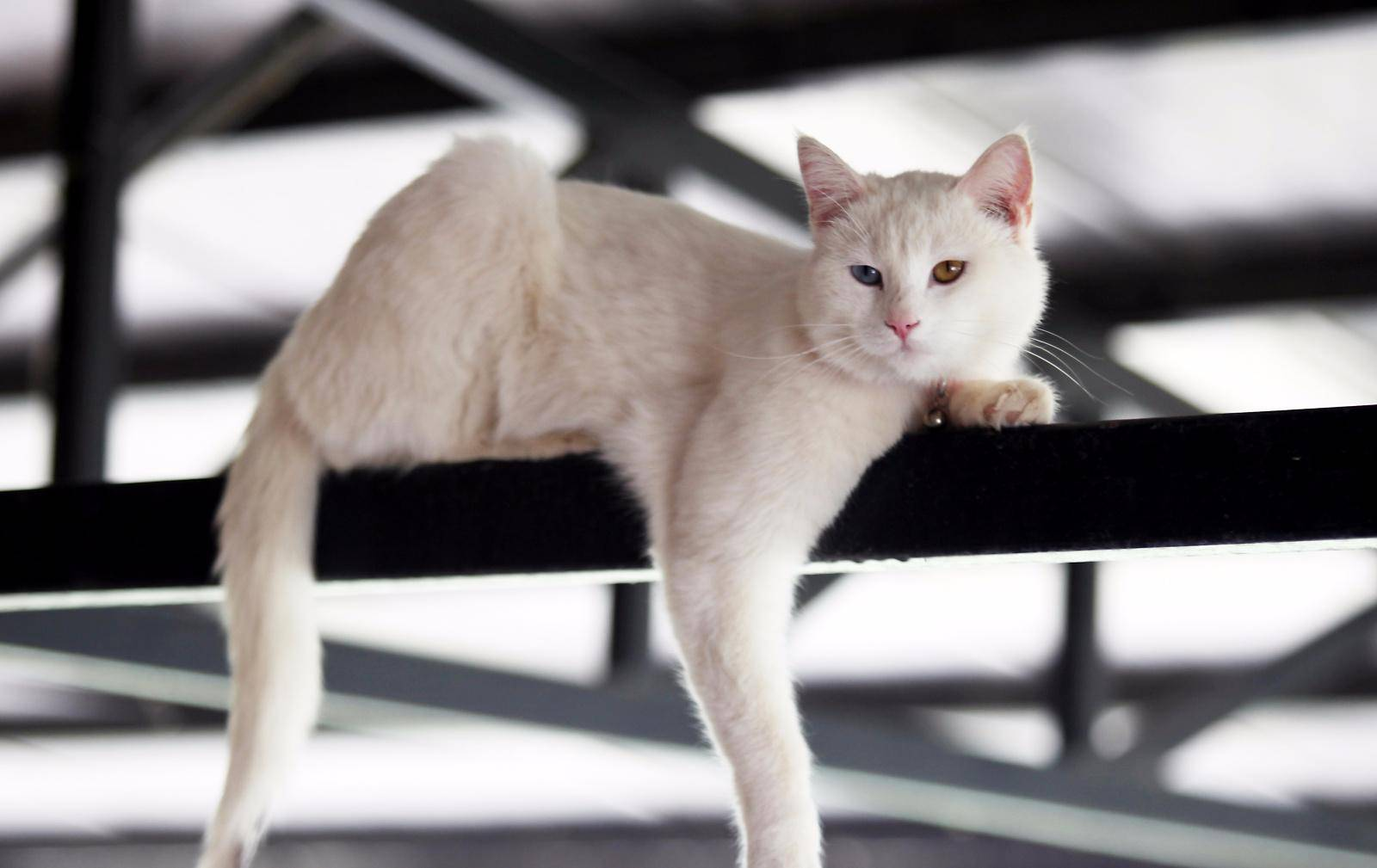 Ликой – кошка, напоминающая оборотня: история появления породы, внешний вид, уход и содержание