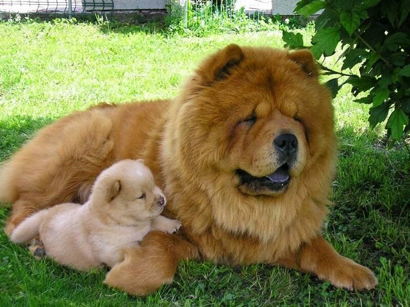 Чау-чау (порода собак): описание, характер, сколько живут