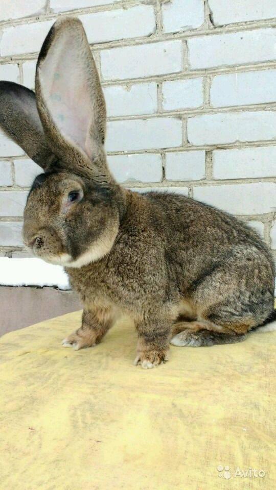 Кролики породы фландр: описание, особенности содержания и ухода