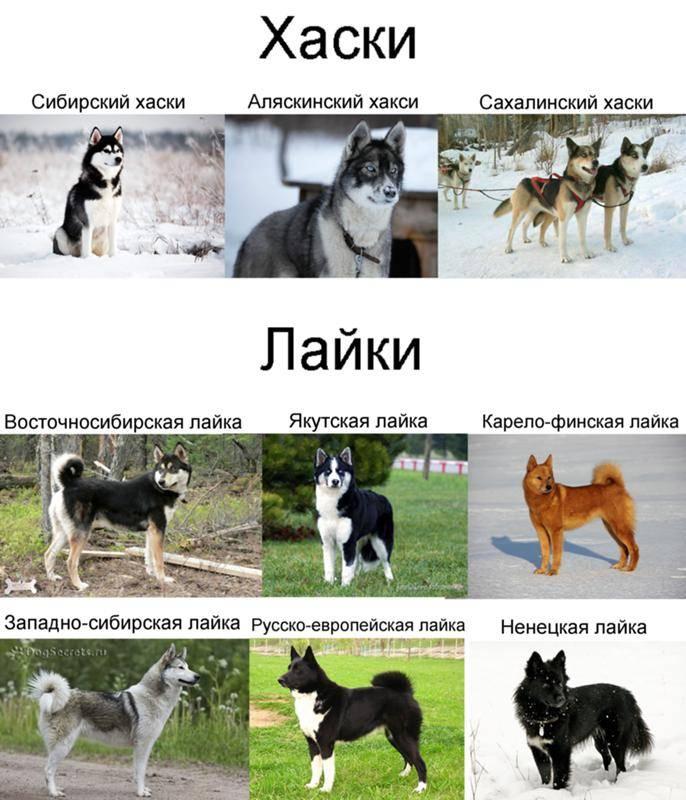 Хаски: стандарт породы и описание внешнего вида + может ли собака измениться с возрастом