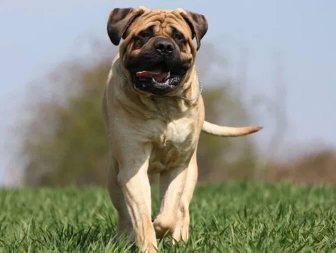 Бульмастиф - описание породы и характер собаки