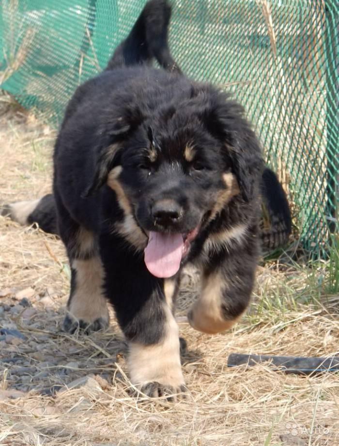 Бурят-монгольский волкодав: описание, фото, характер и уход за собакой хотошо