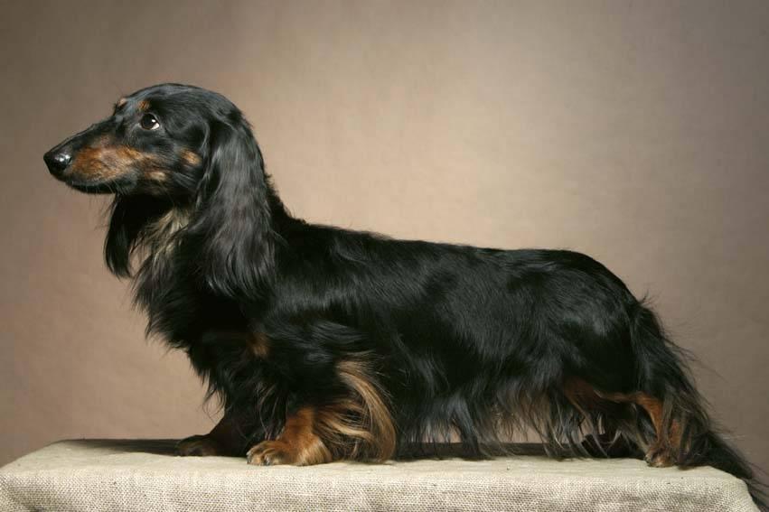 Виды и разновидности собак породы такса — такие разные и такие милые
