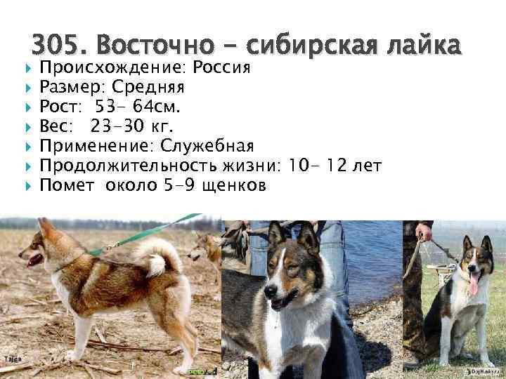 Западносибирская лайка (зсл): описание породы собак с фото и видео