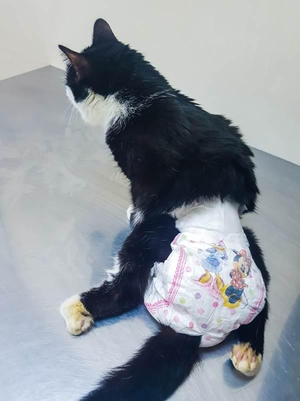 Недержание мочи у кошек чем лечить. профилактика в домашних условиях. виды энуреза у кошек