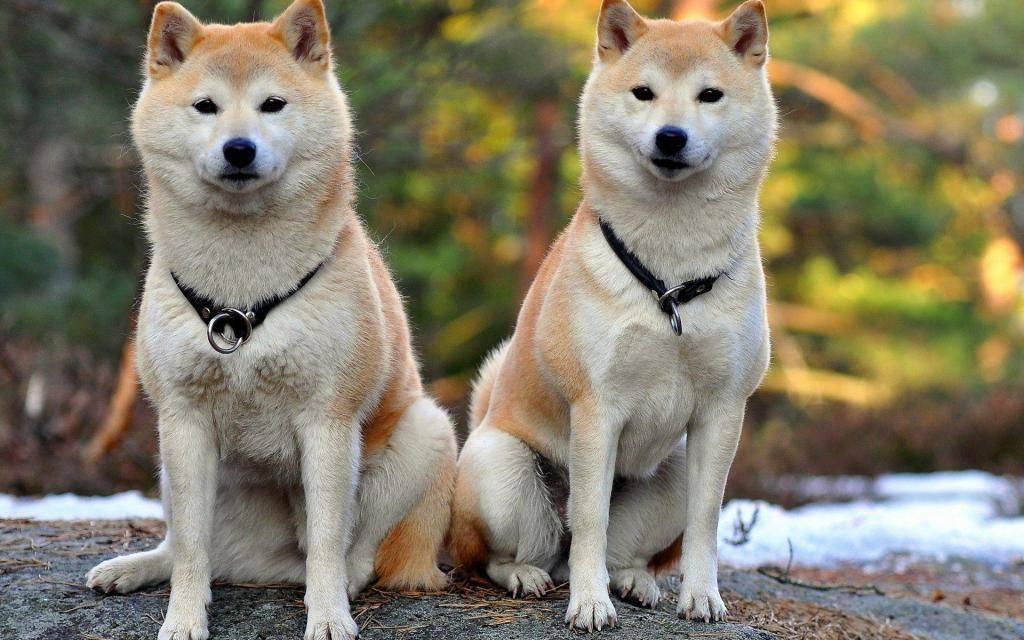 Сиба ину: стандарт породы, описание, дрессировка, выбор щенка