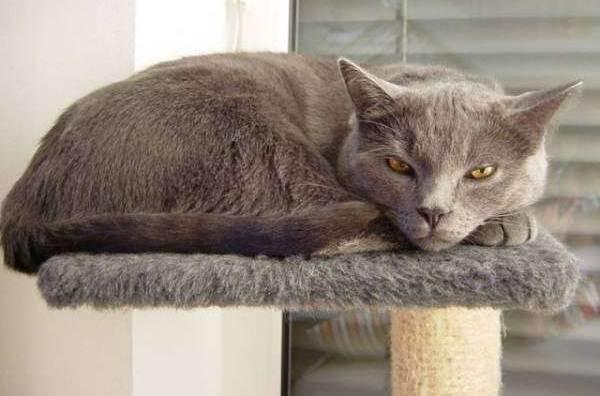Отличия породы кошек шартрез и британец