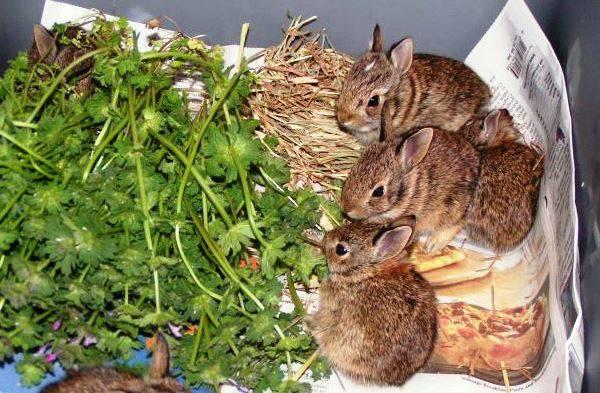 Чем кормить кроликов в домашних условиях: что можно и нельзя
