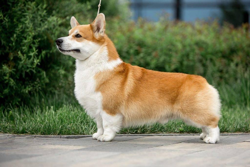 Собака, похожая на лису | порода, рыжая маленькая собака