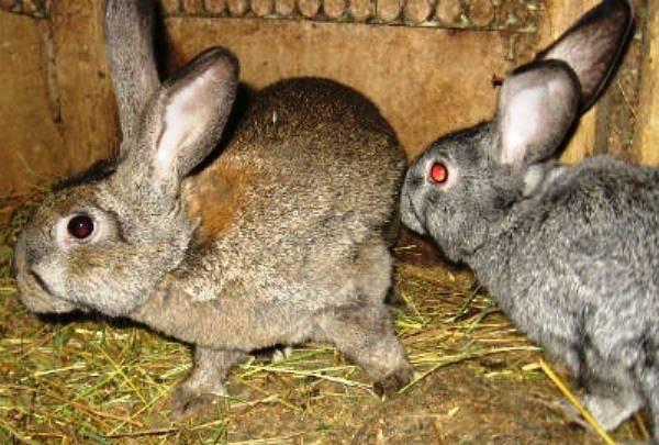 Кролики не спариваются: почему, что делать
