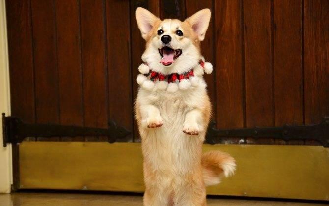 Собака ходит кругами - причины, что делать?