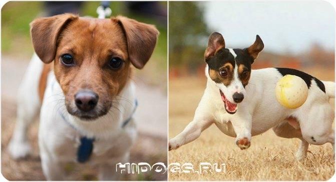 Сравнение бигля с похожими собаками и помеси породы