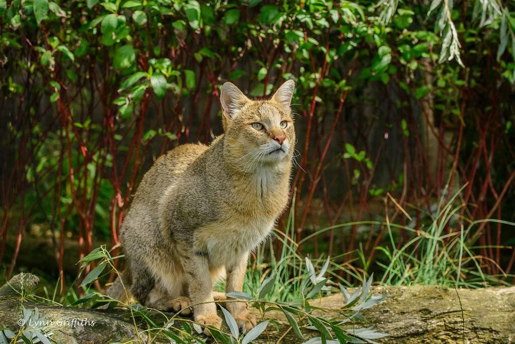 Камышовый кот, особенности породы и содержание дома