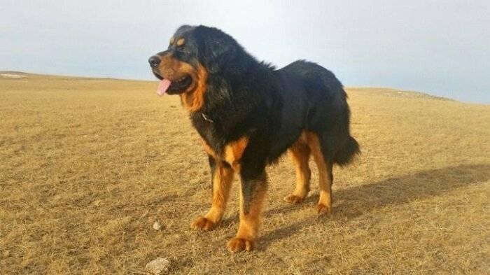 О породе бурят-монгольский волкодав