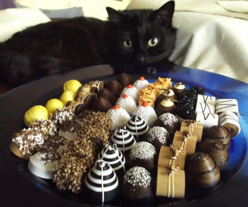 Можно ли кошкам сладкое и чем опасны сладости
