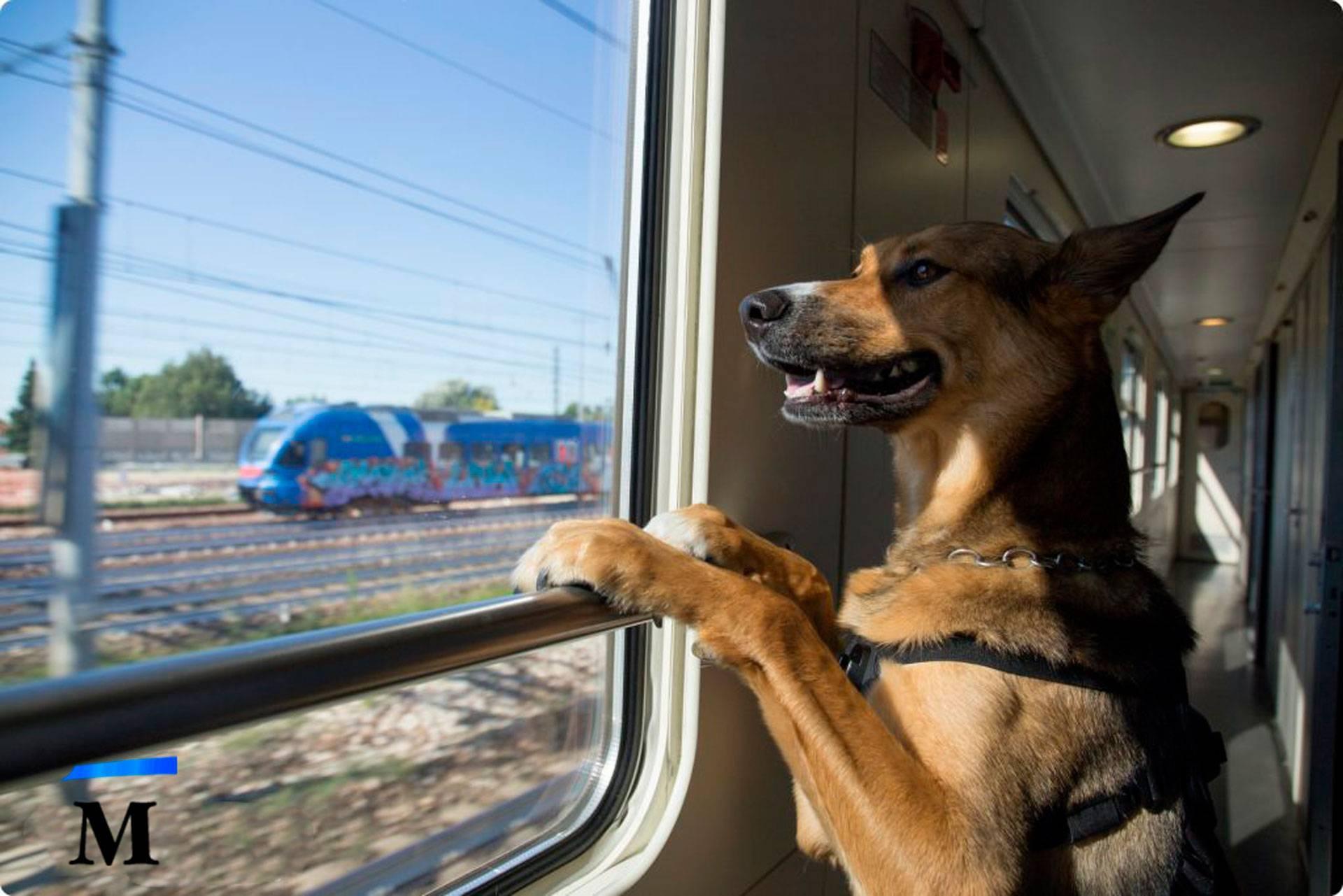 Как перевозить собаку в поезде по россии: правила и цены