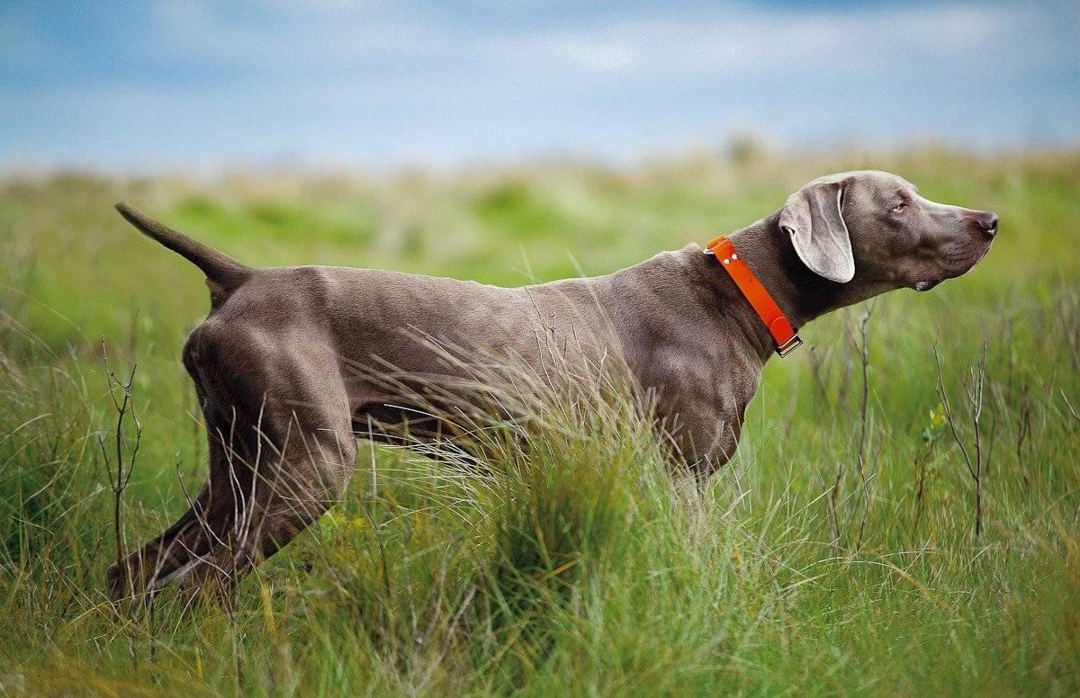 Описание породы собак веймаранер с отзывами владельцев и фото
