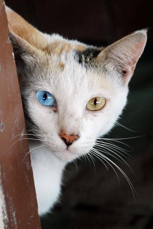Давайте поговорим с собаками с разноцветными глазами или гетерохромией у собак