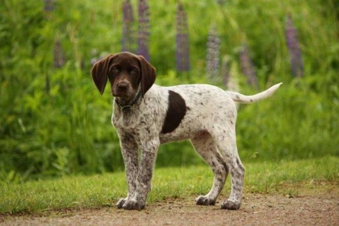 Порода собаки американская акита: описание, характер, дрессировка, уход