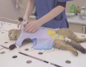 Стерилизация кошки: плюсы, минусы и послеоперационный уход