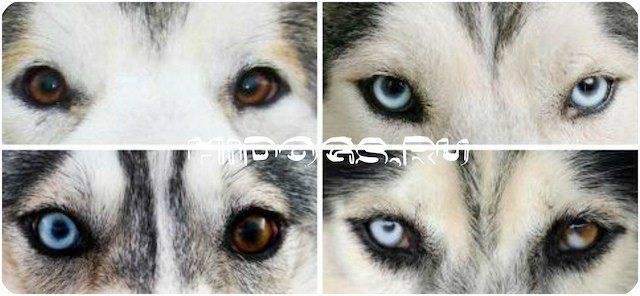 Как выглядят хаски с разными глазами: причины появления и меняется ли цвет со временем