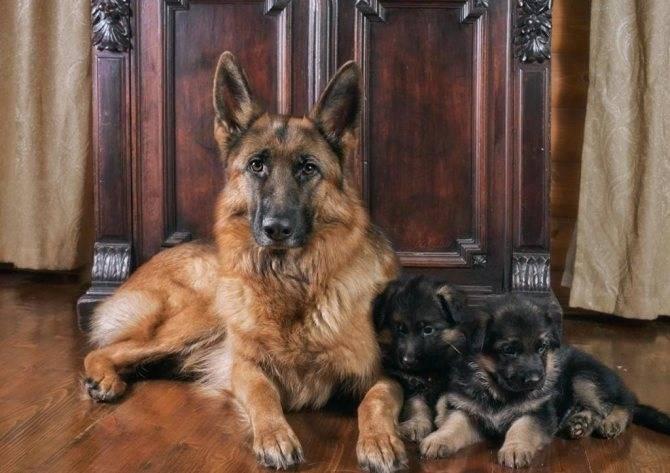 Клички собак немецких овчарок для мальчиков и девочек: советы по выбору имени для щенка, варианты, как назвать крупных и черных кобелей и особей женского пола