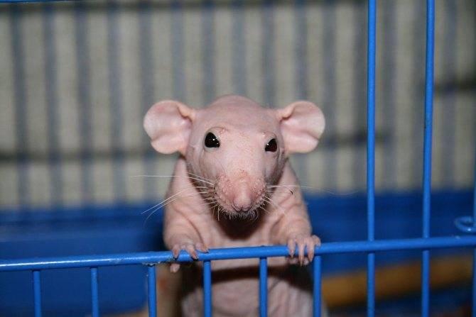 Лысые крысы: характеристика породы и советы по уходу