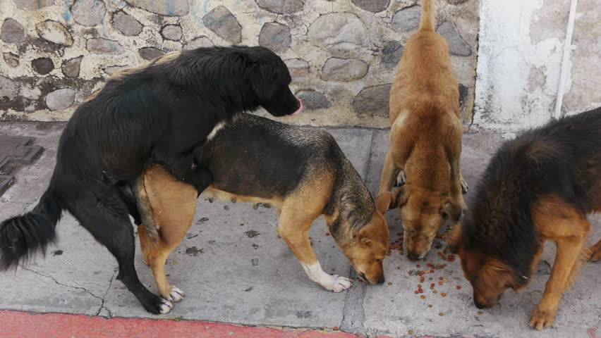 Почему собаки не встают в замок. почему собаки слипаются во время спаривания - меднаука