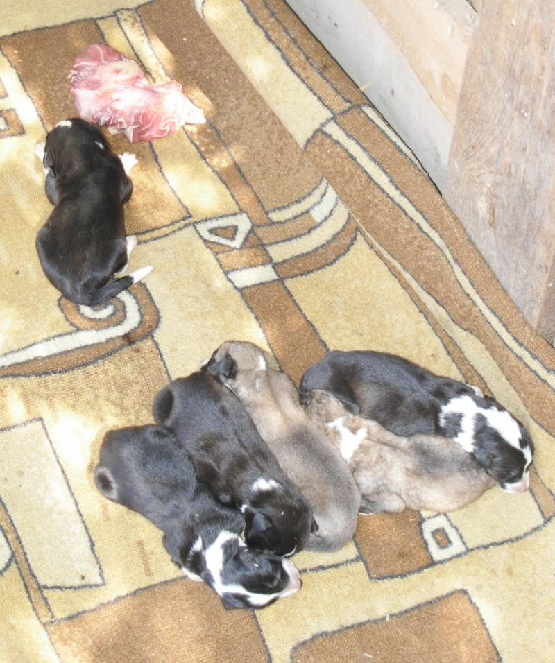 Как долго щенок привыкает к новому дому и к новым хозяевам: как помочь