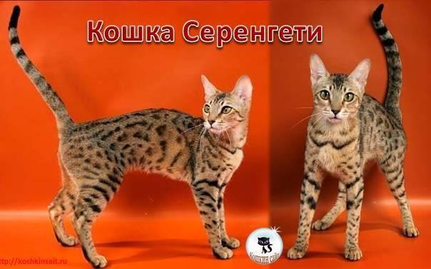 Породы кошек длинношерстные