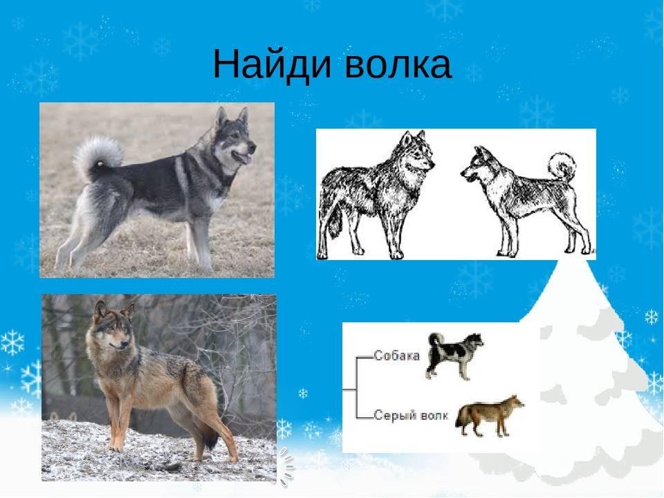 В чем основные отличия волка от собаки?