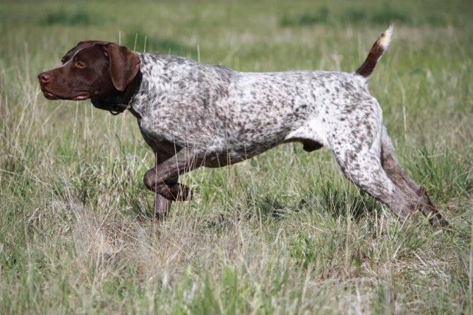 Легавые собаки: список охотничьих пород, фото, континентальные и гриффоны