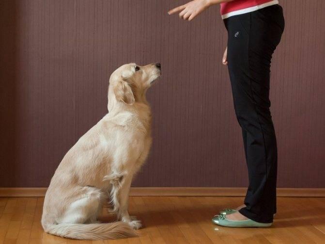 Как дрессировать лабрадора в домашних условиях для начинающих