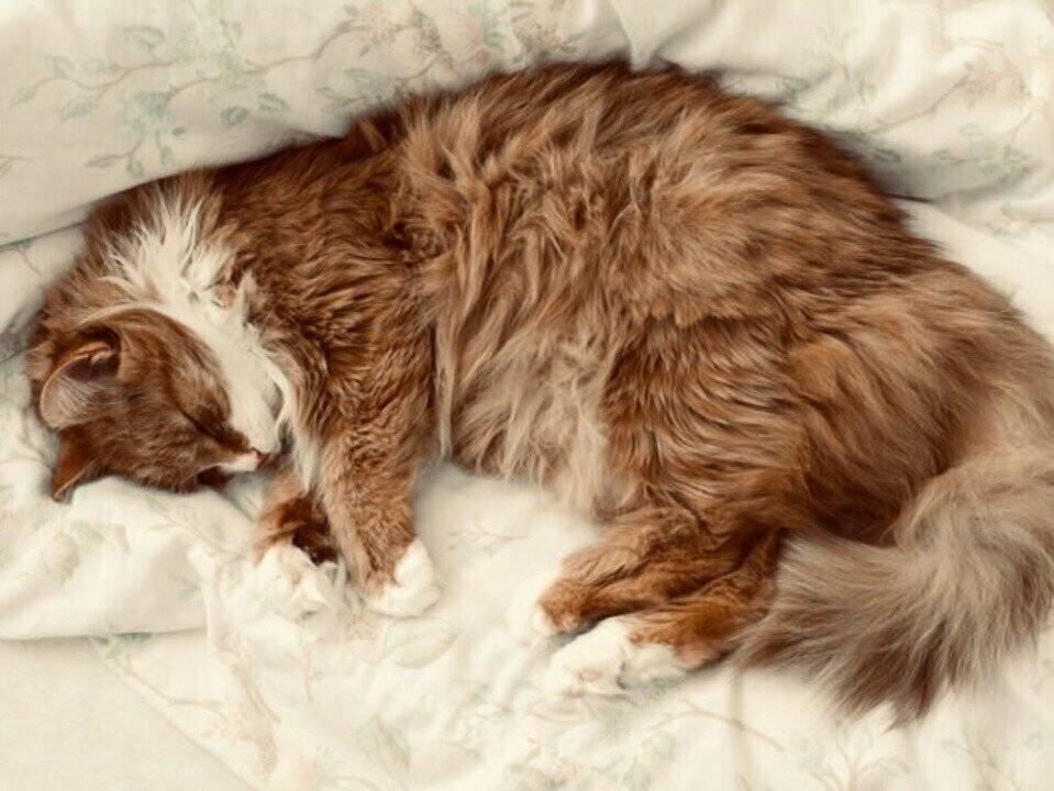 Основные причины, почему кошки мнут лапами одеяла, мебель и своего человека.