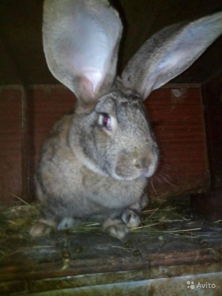 Как правильно разводить кроликов фландр: особенности породы бельгийских кроликов, содержание и разведение