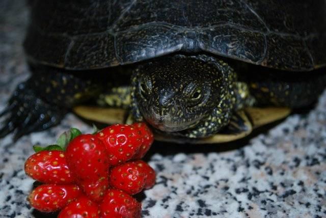 Красноухая черепаха - уход и содержание, чем кормить, болезни