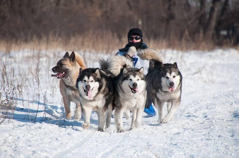Порода собак маламут: фото, видео, описание породы и характер