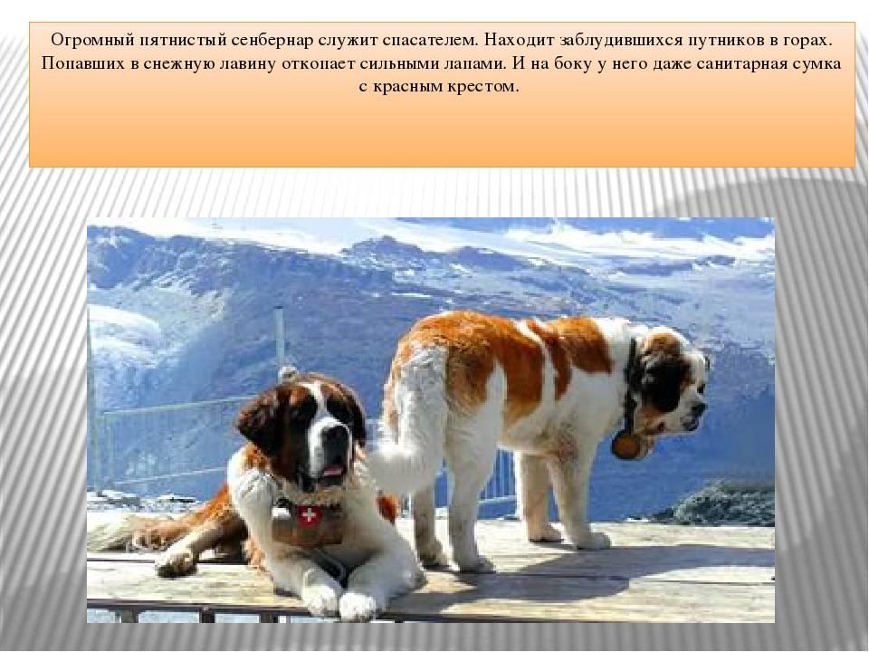 Несколько слов о собаках — спасателях